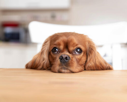 Cute dog sitting behind the kitchen table